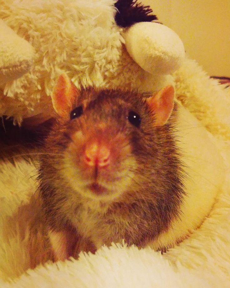 Sitting still for the camera like a good boy - #aww #cute #rat #cuterats #ratsofpinterest #cuddle #fluffy #animals #pets #bestfriend #ittssofluffy #boopthesnoot