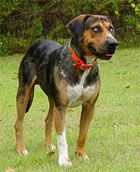 Catahoula Leopard Dog (Catahoula Cur)