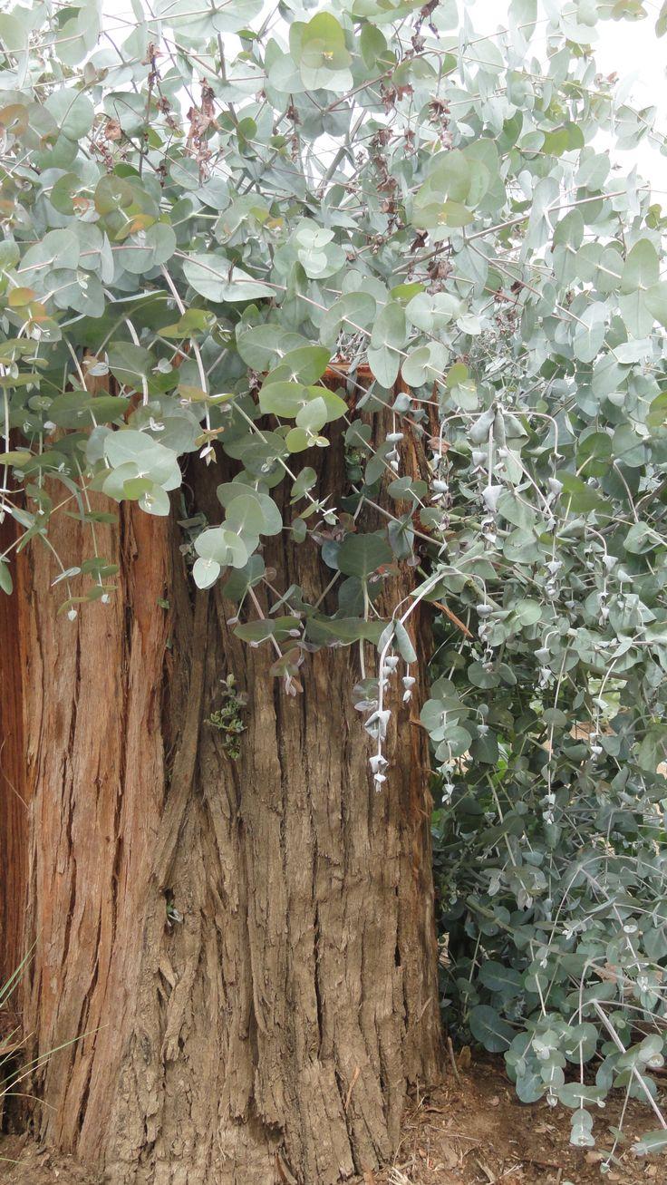 Eucaliptus en Villa Ventana,Argentina