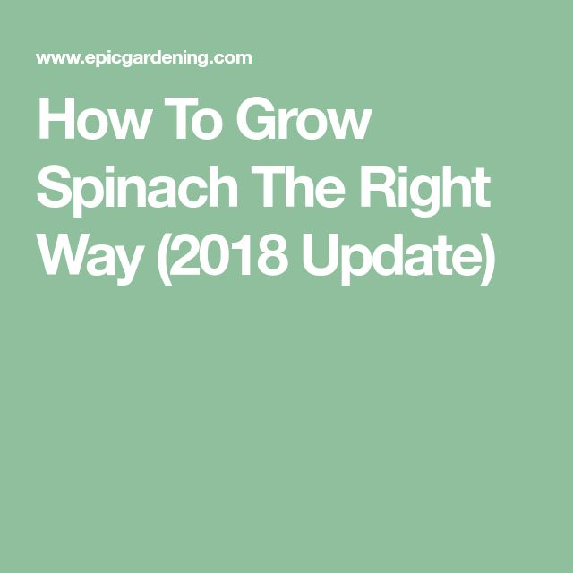 How To Grow Spinach The Right Way (2018 Update)