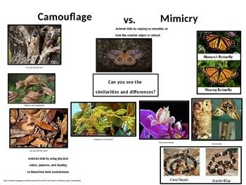 I've often debated the difference between camouflage and mimicry. Because they both are examples of physical adaptations that animals use to hide or protect themselves from predators, they are easily misconstrued.After some research, this page has proven to be a great resource to use along with the animal adaptations unit.