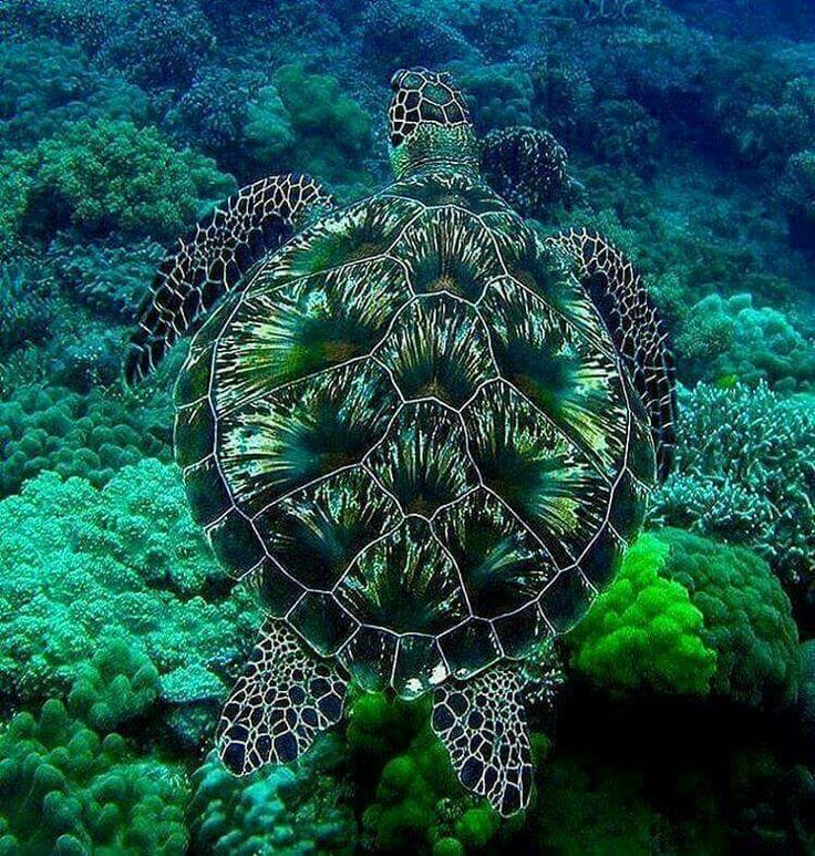 Gorgeous sea turtle, we need to protect the ocean life, so amazingly beautiful!♡♡♡