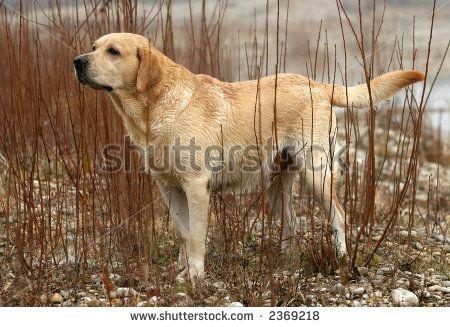 Labrador Retriever Stock Photos, Images, & Pictures | Shutterstock