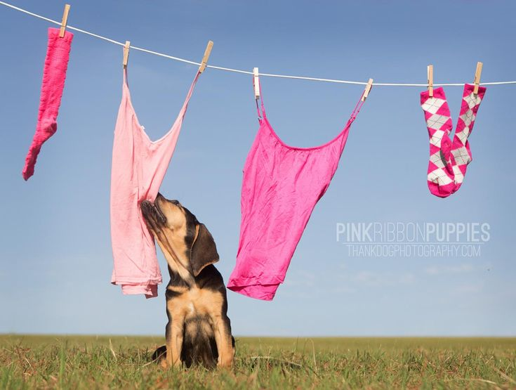 Pink Ribbon Puppies - Bloodhound  [photography by thank Dog. photography]