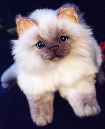 Siamese Himalayan Kitten