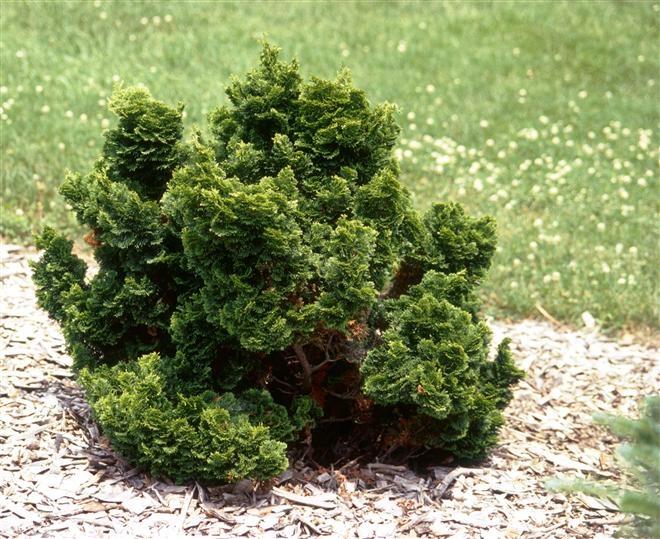 nana gracilis muschelzypresse