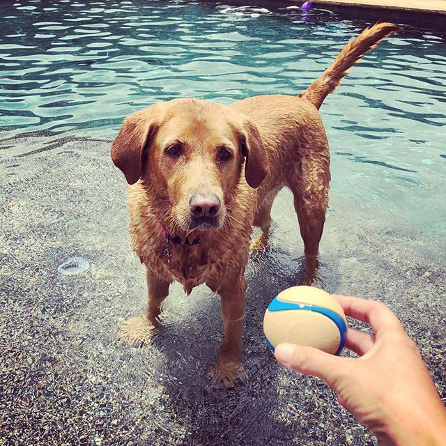 Golden In The Pool Waiting To Fetch With His Chuckit Ball