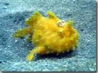 深海生物「アンコウ」のスペックが凄すぎる!(ただしメスに限る) : カラパイア