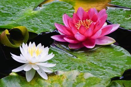 As Cores das Flores de Lótus