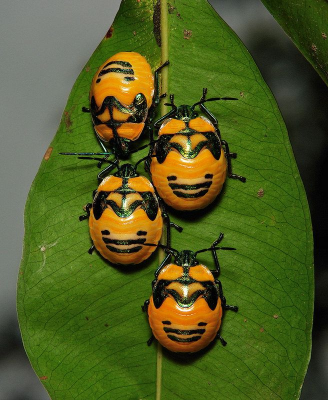 Shield Bug Nymphs  Ready for Halloween? smiley batman pumpkins