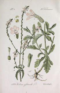 Centáurea de Reva: Óleo Essencial de Verbena (Verbena officinalis)