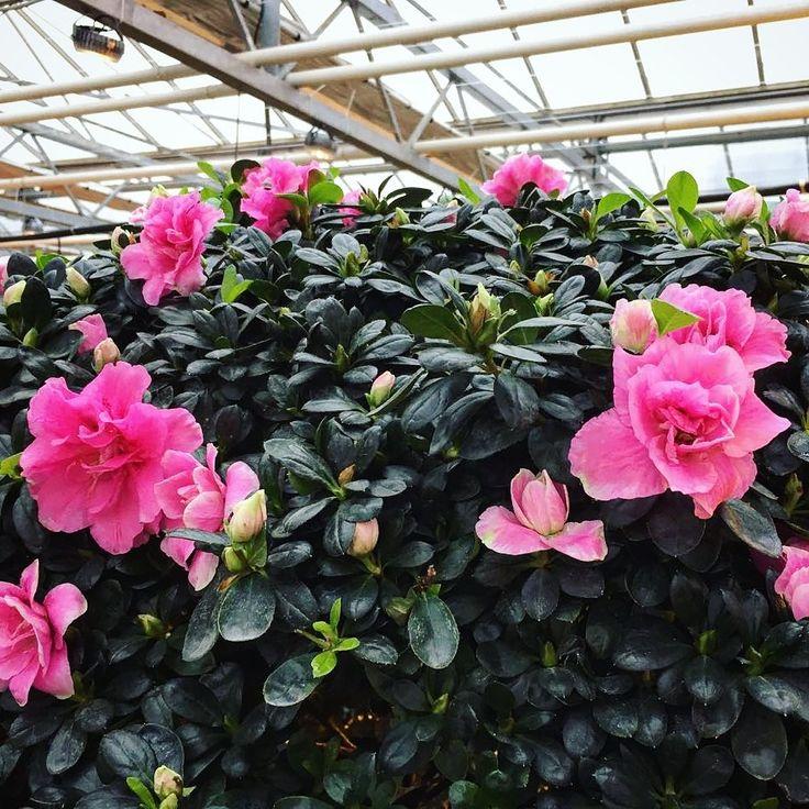 Стена | ВКонтакте  ВЕСНА В НОЯБРЕ И ДЕКАБРЕ - только в #Аптекарскийогород 😍! Роскошные розовые деревья - море азалий - расцвели в Саду