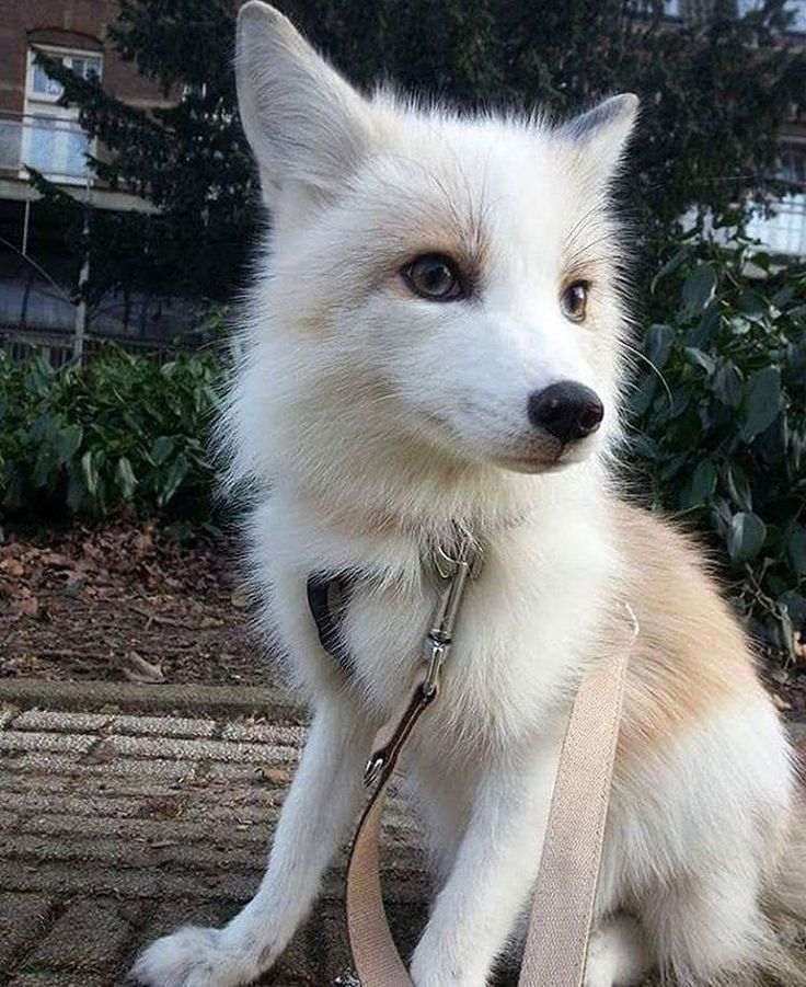 A white (domesticated) fox (Source: http://ift.tt/2iQje9q)