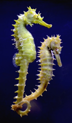 39 Best Everything Seahorses Images On Pinterest