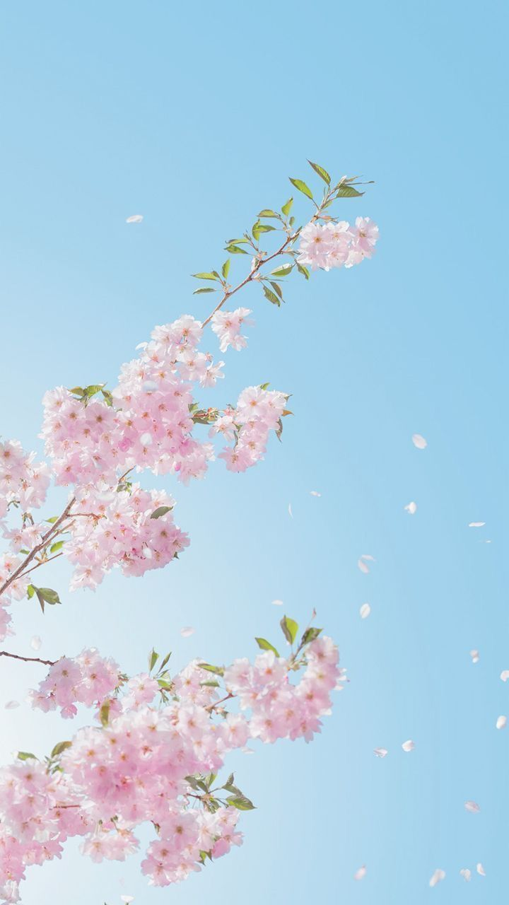 Wallpaper Bunga Sakura Cinta Tak Seindah Bunga Sakura Dimusim Semi Yuchiro Source Www Wattpad Com Wallp Wallpaper Bunga Indah Bunga Sakura Fotografi Alam
