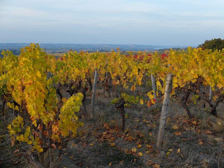 Vue des vignes en automne Photo MNC