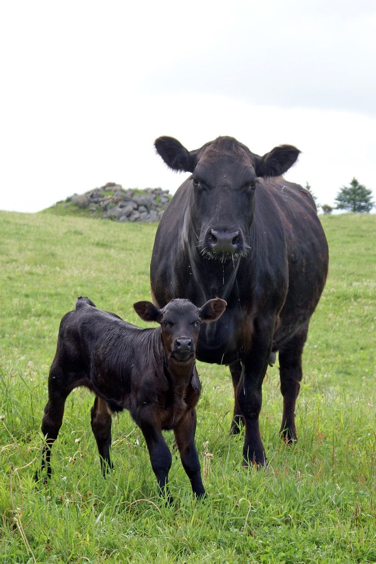 Dad raised these after Herefords. Black Angus Cow & Calf