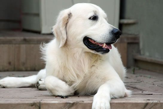 Canadian Champion Dreamkeeper Unforgettable Song | Hudson | Swedish Litters | Raised Kennel Free | Quality European Bloodlines | Golden Retrievers | British Style Golden Retrievers