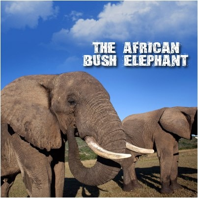 The African Bush Elephant: They use their trunk, which has 40,000 muscles, as a tool to hold water. They can drink 10 to 15 liters of water at a time and generally drink 200 liters in a day!  Bush elephants are emotional creatures that can cry, laugh and play. They grieve at the death of their young ones and adults. African bush elephants have large brains (5 kg), compared to their cousins dwelling in Asia and are more intelligent. #CoxandKings