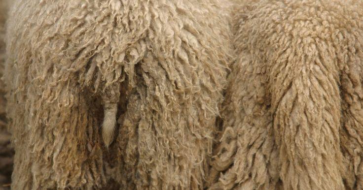 Como tingir couro de carneiro. O couro de carneiro é frequentemente apresentado com a lã ainda presa a ele, sendo primariamente utilizado em vestimentas. Casacos e sapatos estão entre os principais itens confeccionados com esse material. Ao comprar couro de carneiro, o material pode ser obtido em uma variedade de cores, entretanto, também é possível tingir a pele se você assim ...