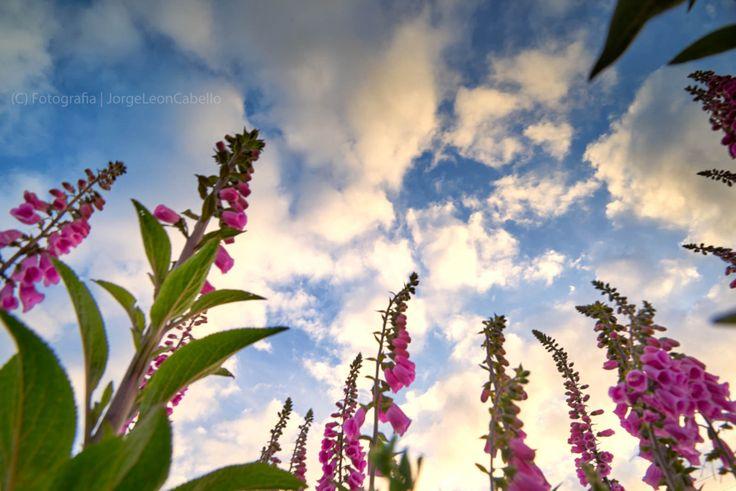 https://flic.kr/p/CuTZT8 | Mi cielito lindo - Puerto Varas (Patagonia -Chile) | Por fin  la primavera llega al Hemisferio Sur en su maximo esplendor. En esta parte del sur de Chile parece arribar tardiamente este año pero igual que siempre llenando de colorido los jardines, campos y caminos de la Region de Los Lagos.  --------------  Finally spring arrives to the Southern Hemisphere at its best. In this part of southern Chile it seems belatedly arrive this year but as always filled with…