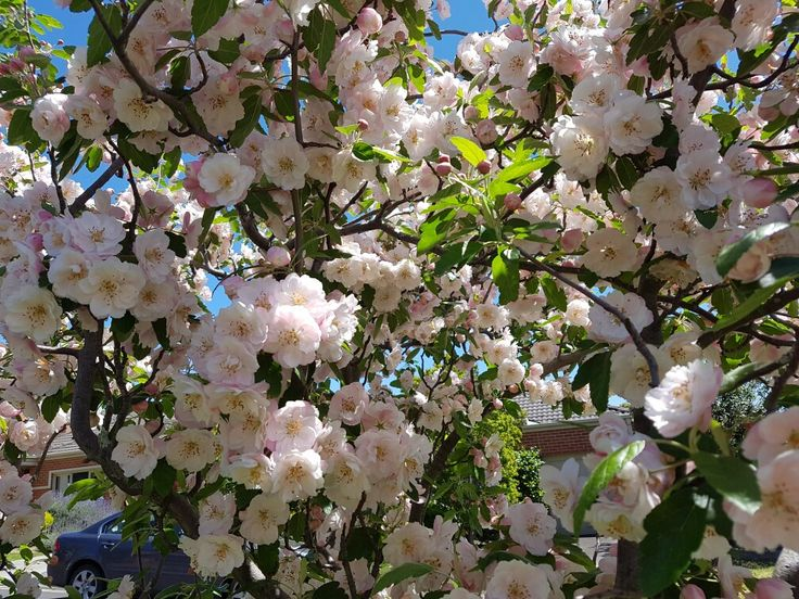 Crabapple blossom in springtime