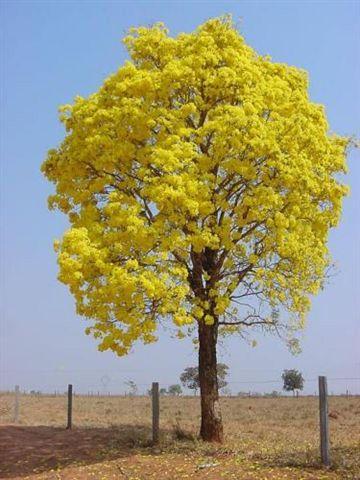 amarelo na natureza | Ipê-amarelo: Árvore de altura variável, de pequeno a grande porte ...