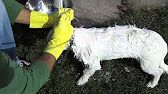 HOW TO GET RID OF SKUNK SPRAY--mix dish soap with hydrogen peroxide & baking soda.  Apply with a sponge.  Let it sit on the fur for a few minutes then rinse,  Keep away from the eyes,