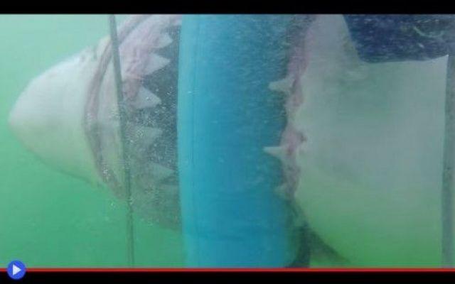 Di nuovo squali che tentano di entrare nella gabbia Era una situazione decisamente particolare, quella che aspettava la ranger volontaria Hillary Rae durante una delle sue giornate libere con tanto d'escursione fino al mare del Sudafrica, tra le invit #squali #animali #pesci #pericolo