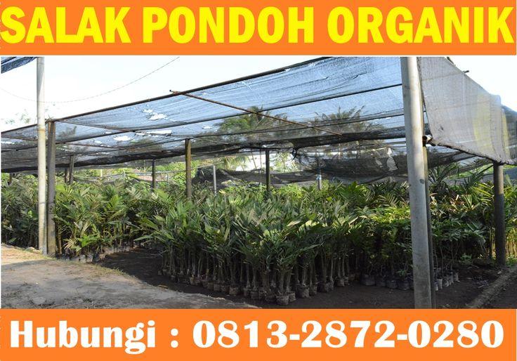 Salak Pondoh Organik Siap Dikirim Keseluruh Indonesia Dan Luar negeri. Hubungi : 0813-2872-0280 (Bpk. Bambang)