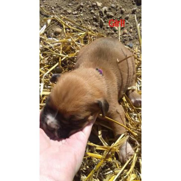 Find Boxer puppies for sale and adoption at puppiesforsale.store. - Boxer puppies D.O.BJanuary 20th will probably be ready march 17th hurry while they are still here they're going fast! 40..., Higdon - Alabama