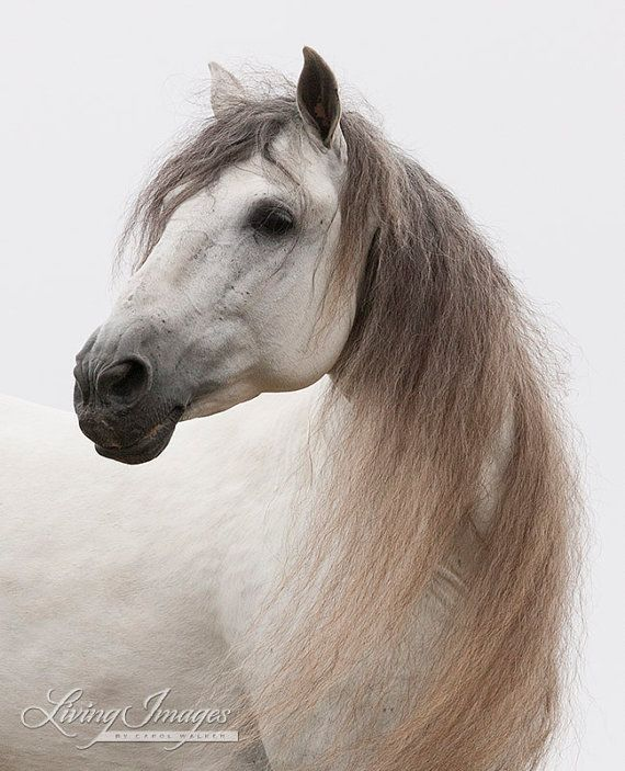 Andalusian Stallion Looks – Fine Art Horse Photograph – Horse – Black and White – Andalusian