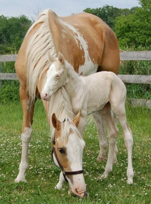 pinto mare and foal