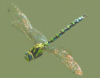 I love the shimmer on the dragonflies wings