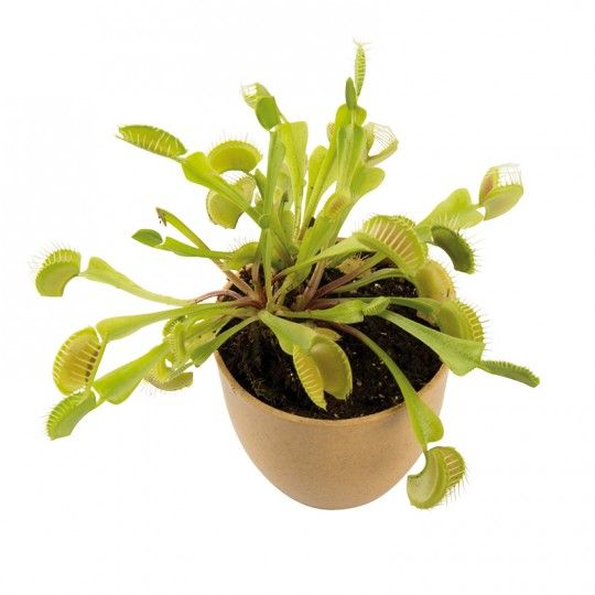 Grow your own venus fly trap - National geographic $10