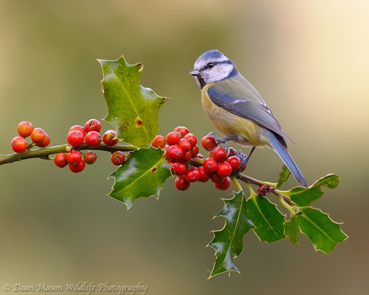 """Blue Tit on Holly"""