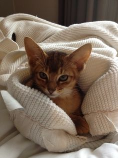 See more on Price range of Abyssinian Kitten