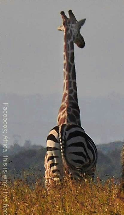 Hey giraffe, what happened to your backside? Gone all stripey? Or its washing day and your PJs are not dry yet? <3