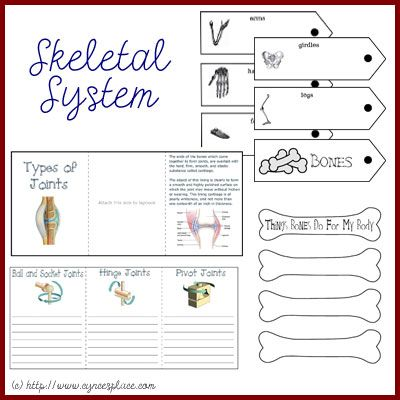Free Anatomy Lapbook – Skeletal System #homeschool #lapbooks                              ~   This may be good for Halloween!