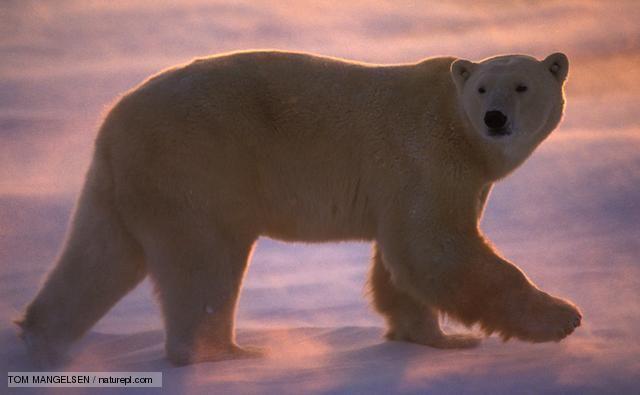 Polar bear walking through wind-blown snow at sunset  Source: http://www.bbc.co.uk/nature/life/Polar_bear