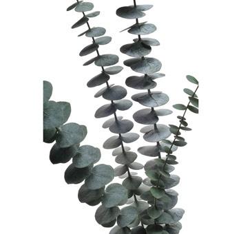 Baby Blue Eucalyptus Flowers