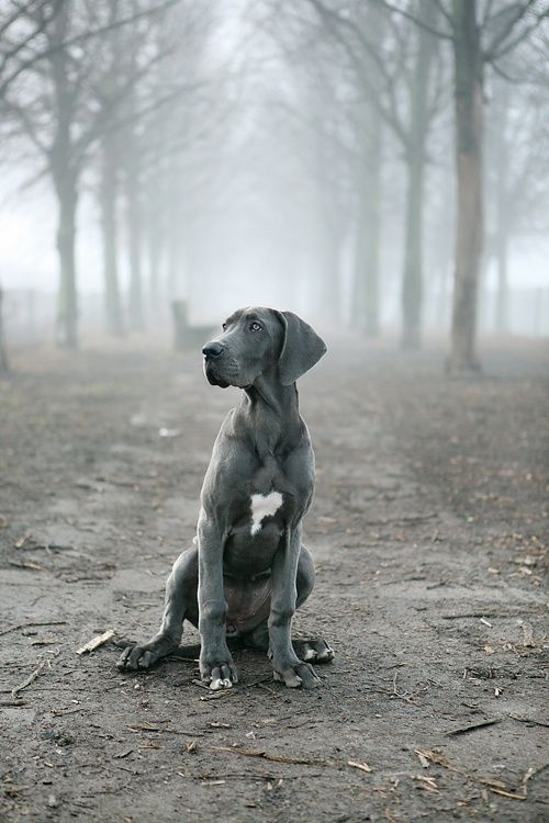 "Originally said ""Grey Weimaraner.""  I say no way, definitely a blue dane puppy. Check out those feet!"