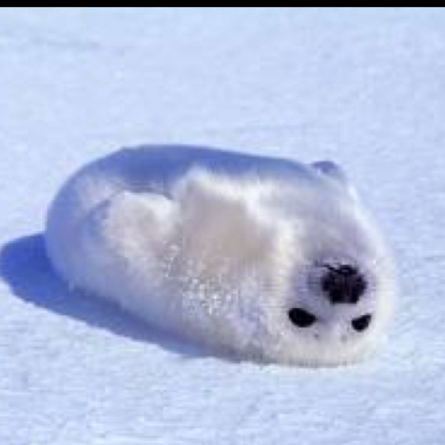 I Want To Cuddle With You Baby: Baby Harp Seal- There's Nothing More I'd Want To Cuddle