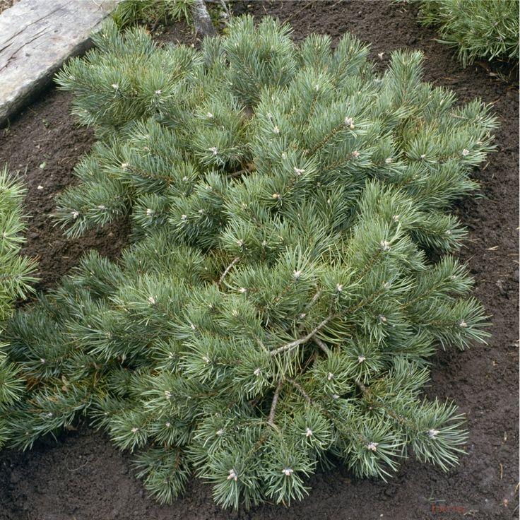 Pinus sylvestris Albyns, H : 30/40 cm, ctr 4L