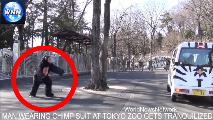 Man Wearing Chimp Suit At Tokio Zoo Gets Shot With Tranquilizer Dart