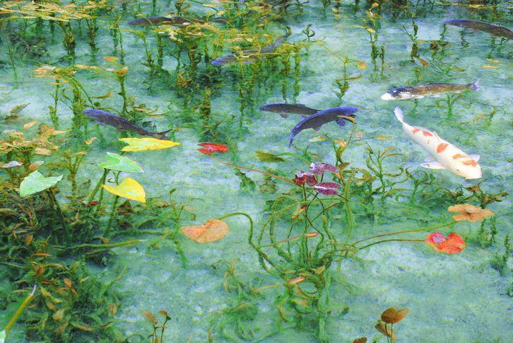 自然が広がる岐阜県関市の山あいに、一部の間で大注目されているスポットがあります。遠方からの観光客が後を絶たないこのスポットは、根道神社の脇に広がる澄み切った池。まるで絵画のようだといわれている幻の池、実は正式な名前もない、知る人ぞ知る「名前のない池」なんです。    本当に写真?美しすぎる「モネの睡蓮池」...