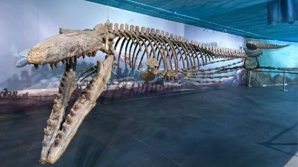 Sun News : Manitoba museum has the biggest mosasaur in the world