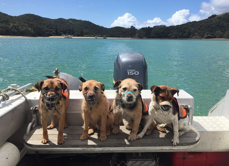 The 'Rat Pack' - quite literally! A crack team of conservation dogs ready to get stuck in to rodent detection in the Bay of Islands.
