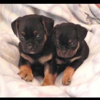 Carlin Pinscher puppies = the cutest