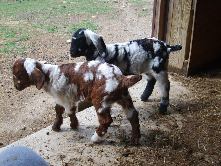 Ash's Boer Goats - Sneek A Peek & Razzle